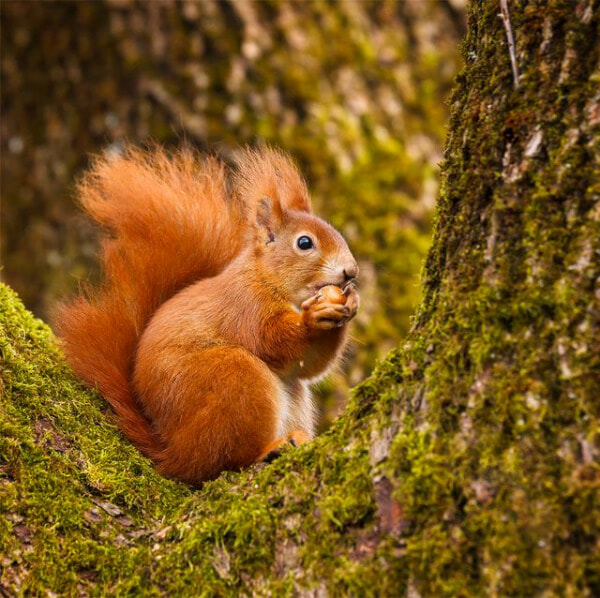Red Squirrel Munching On A Hazel Nut Royalty Free Image 1599203407 E1633150574244